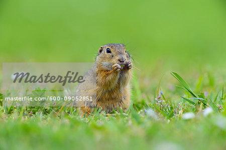 European ground squirrel (Spermophilus citellus) sitting in field eating plants in Burgenland, Austria