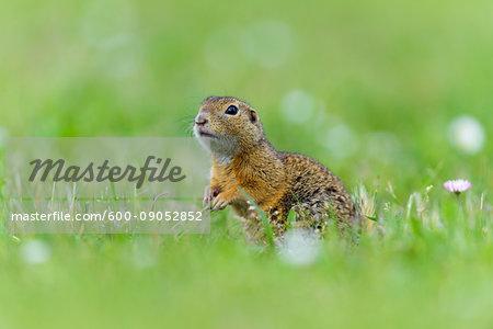 Portrait of European ground squirrel (Spermophilus citellus) standing in field looking at camera in Burgenland, Austria