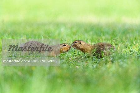 Two, European ground squirrels (Spermophilus citellus) meeting nose to nose in field in Burgenland, Austria