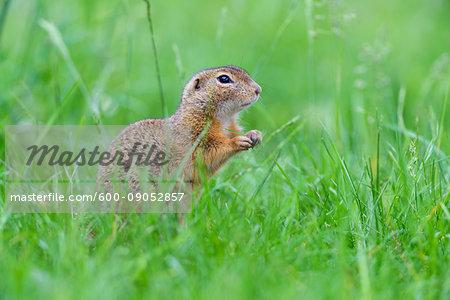 Close-up of European ground squirrel (Spermophilus citellus) standing on hind legs in field in Burgenland, Austria