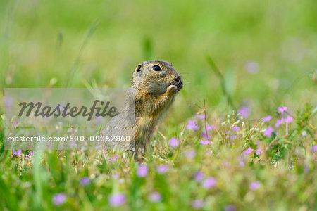 Close-up of European ground squirrel (Spermophilus citellus) standing on hind legs eating plants in field in Burgenland, Austria