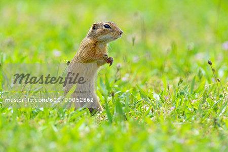 Portrait of European ground squirrel (Spermophilus citellus) standing on hind legs in field in Burgenland, Austria