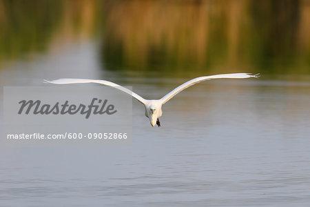 Front view of a great white egret (Ardea alba) in flight over Lake Neusiedl in Burgenland, Austria