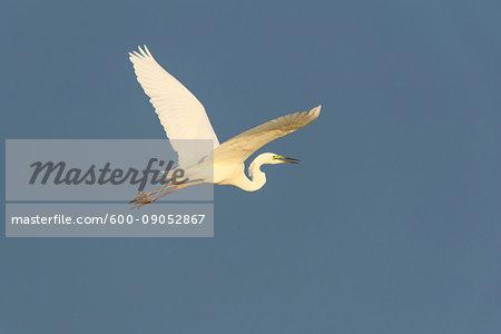 Profile of great white egret (Ardea alba) in flight against a blue sky at Lake Neusiedl in Burgenland, Austria