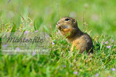 Close-up portrait of a European ground squirrel (Spermophilus citellus) eating plants in grassy field in Burgenland, Austria