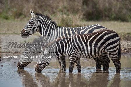 Common Zebra (Plains Zebra) (Burchell's Zebra) (Equus burchelli) drinking, Ngorongoro Conservation Area, Tanzania, East Africa, Africa