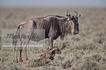 Blue Wildebeest (brindled gnu) (Connochaetes taurinus) new-born calf, Ngorongoro Conservation Area, Tanzania, East Africa, Africa