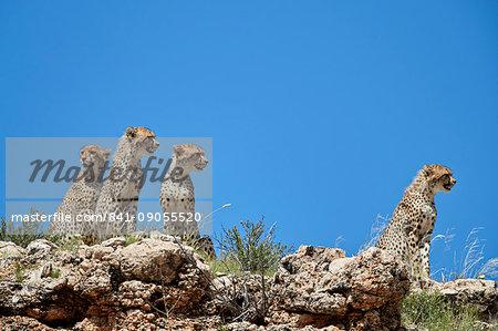 Four Cheetah (Acinonyx jubatus), Kgalagadi Transfrontier Park, South Africa, Africa