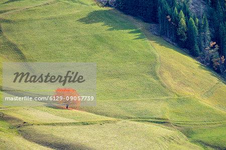 Lone cherry tree with autumnal leaves. Santa Maddalena, Funes, Bolzano, Trentino Alto Adige - Sudtirol, Italy, Europe.
