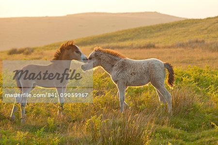 Welsh foals on the Mynydd Epynt moorland, Powys, Wales, United Kingdom, Europe