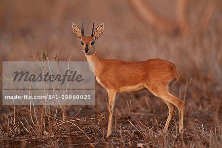 Steenbok (Raphicerus campestris) buck, Kruger National Park, South Africa, Africa