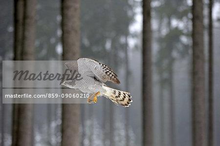 Northern Goshawk, (Accipiter gentilis), adult in winter in snow flying, Zdarske Vrchy, Bohemian-Moravian Highlands, Czech Republic