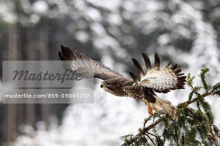 Common Buzzard, (Buteo buteo), adult on tree in winter starts flying, in snow, Zdarske Vrchy, Bohemian-Moravian Highlands, Czech Republic