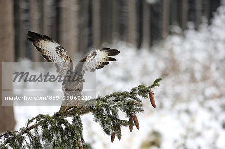 Common Buzzard, (Buteo buteo), adult on tree in winter spreads wings, in snow, Zdarske Vrchy, Bohemian-Moravian Highlands, Czech Republic