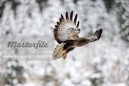 Common Buzzard, (Buteo buteo), adult in winter flying, in snow, Zdarske Vrchy, Bohemian-Moravian Highlands, Czech Republic