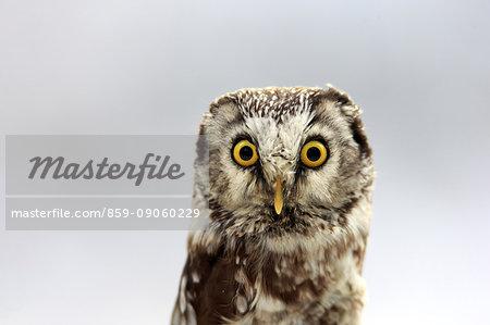 Boreal Owl, (Aegolius funereus), adult in snow portrait, in winter alert, Zdarske Vrchy, Bohemian-Moravian Highlands, Czech Republic