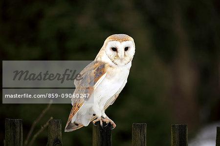 Barn Owl, (Tyto alba), adult on fence in winter, Zdarske Vrchy, Bohemian-Moravian Highlands, Czech Republic