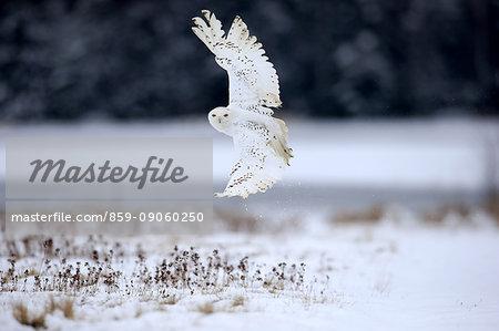 Snowy Owl, (Nyctea scandiaca), adult flying in winter, snow, Zdarske Vrchy, Bohemian-Moravian Highlands, Czech Republic