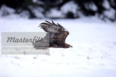 Golden Eagle, (Aquila chrysaetos), adult flying in winter, snow, Zdarske Vrchy, Bohemian-Moravian Highlands, Czech Republic