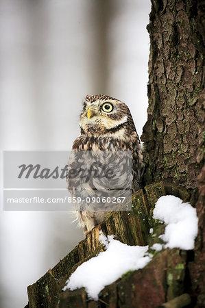 Little owl, (Athene noctua), adult on branch in snow in winter alert, Zdarske Vrchy, Bohemian-Moravian Highlands, Czech Republic