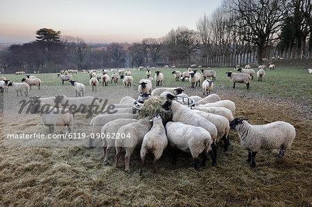 Field of sheep feeding on hay in winter, Burwash, East Sussex, England, United Kingdom, Europe