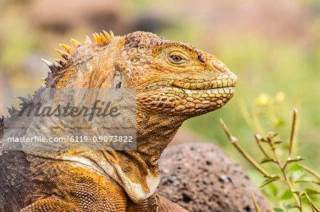 An adult Galapagos land iguana (Conolophus subcristatus), head detail, North Seymour Island, Galapagos, Ecuador, South America