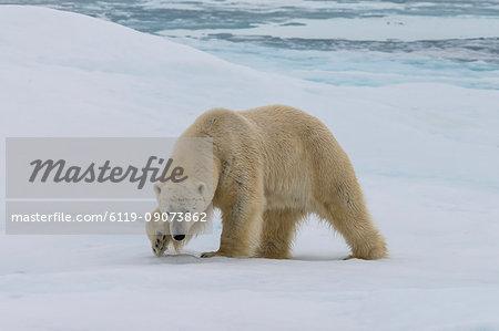 Male Polar bear (Ursus maritimus) walking on pack ice, Svalbard Archipelago, Barents Sea, Arctic, Norway, Scandinavia, Europe