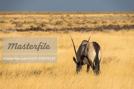 Male Gemsboks (Oryx gazella), Etosha National Park, Namibia, Africa