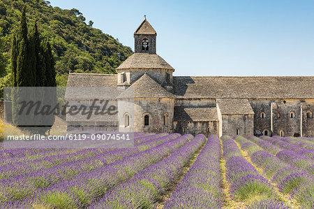 Lavender crop in front of Senanque Abbey, Gordes, Vaucluse, Provence-Alpes-Cote d'Azur, France, Europe