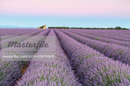 Ruins in a lavender field at dawn, Plateau de Valensole, Alpes-de-Haute-Provence, Provence-Alpes-Cote d'Azur, France, Europe
