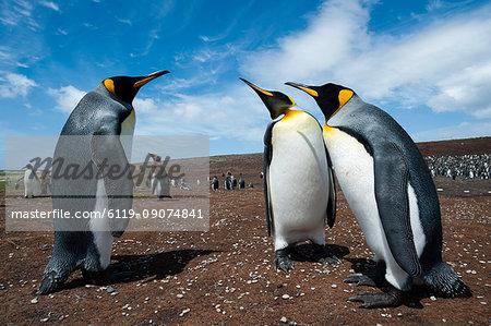 King penguins (Aptenodytes patagonica) fighting, Falkland Islands, South America
