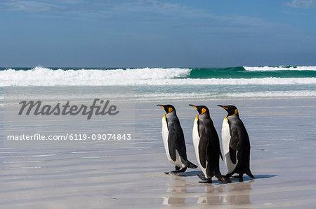 Three king penguins (Aptenodytes patagonica) walking on Volunteer Point beach, Falkland Islands, South America