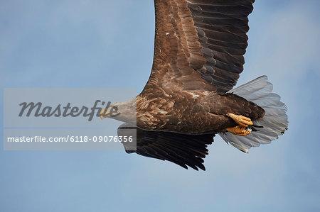 White-Tailed Eagle, Haliaeetus albicilla, mid-air, winter.