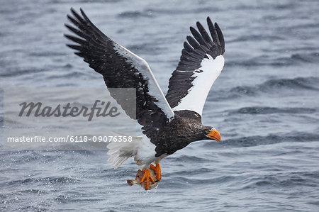 Steller's Sea Eagle, Haliaeetus pelagicus, hunting above water in winter.