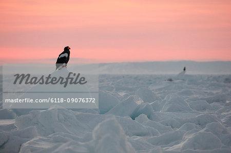Steller's Sea Eagle, Haliaeetus pelagicus, on frozen bay in winter at dawn.