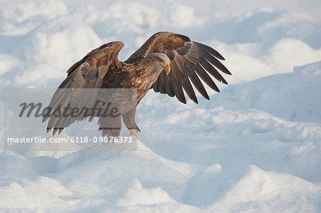 White-Tailed Eagle, Haliaeetus albicilla, hunting on frozen bay in winter.