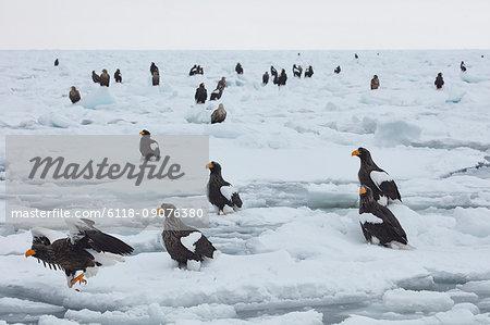 Steller's Sea Eagle, Haliaeetus pelagicus, on frozen bay in winter.