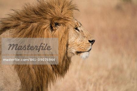 Male lion (Panthera Leo) of the Lemek pride in Lemek Conservancy, Masai Mara, Kenya, East Africa, Africa