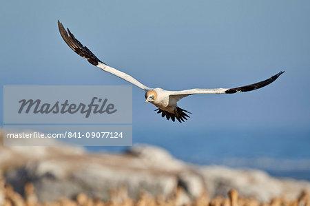 Cape Gannet (Morus capensis) in flight, Bird Island, Lambert's Bay, South Africa, Africa