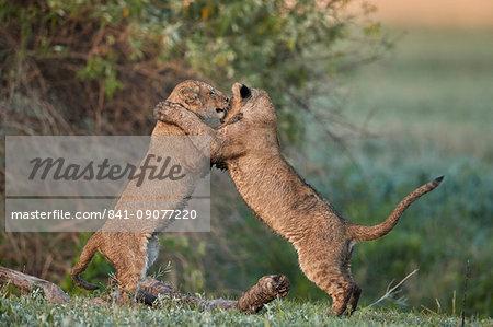 Two lion (Panthera leo) cubs playing, Ngorongoro Crater, Tanzania, East Africa, Africa