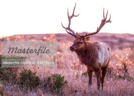 Tule elk buck (Cervus canadensis nannodes) in moorland, Point Reyes National Seashore, California, USA