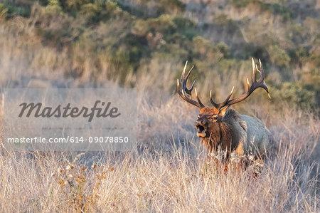 Tule elk buck (Cervus canadensis nannodes) in long grass, Point Reyes National Seashore, California, USA
