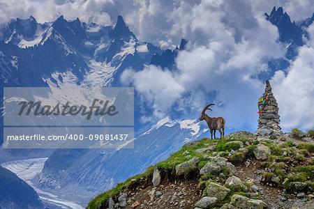 Alpine ibex (Capra ibex). In background Glacier Mer de Glace. Mont Blanc, France