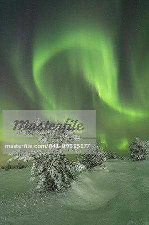 Northern Lights (Aurora Borealis) on the frozen tree in the snowy woods, Levi, Sirkka, Kittila, Lapland region, Finland, Europe