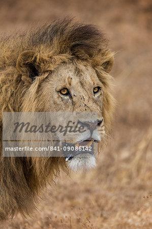 African lion (Panthera leo), Ngorongoro National Park, Tanzania, East Africa, Africa