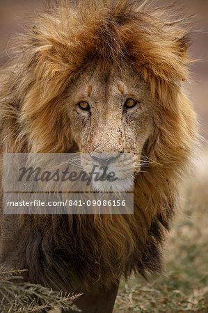 African lion (Panthera leo), Serengeti National Park, Tanzania, East Africa, Africa
