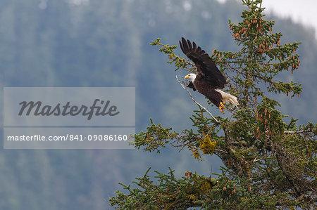 Bald eagle (Haliaeetus leucocephalus), Chugach National Forest, Alaska, United States of America, North America