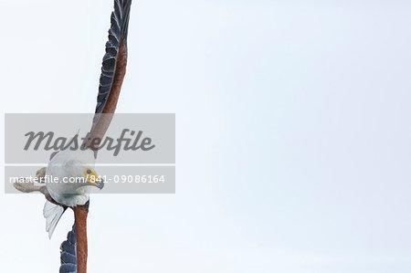 African fish eagle (Haliaeetus vocifer), Lake Malawi, Malawi, Africa