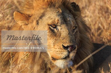 African lion (Leo panthera), Serengeti National Park, Tanzania, East Africa, Africa