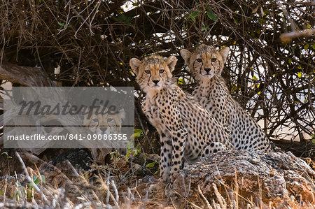 Portrait of three cheetah cubs (Acinonyx jubatus), Samburu National Reserve, Kenya, East Africa, Africa